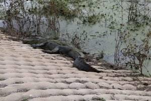 Alligator sunbathing at Brazos Bend State Park