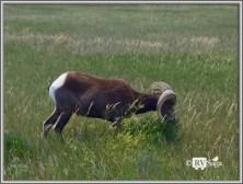 Big Horn Sheep at Badlands