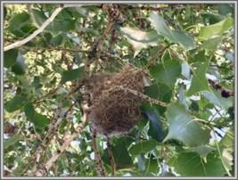Nest of Bullock Orioles