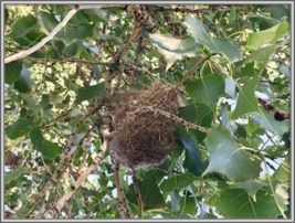Nest of Bullock Orioles