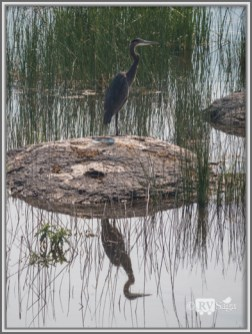 A Blue Heron, Eagle Lake, California