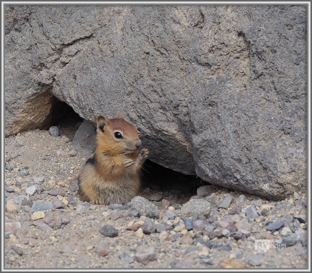 A Golden Mantled Ground Squirrel Eating a Bug