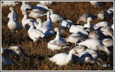 A Group of Snow Geese. Bosque Del Apache National Wild Life Refuge. New Mexico