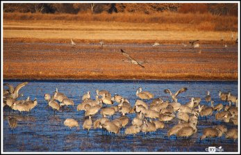 Sandhill Cranes on Wetland in the Early Morning