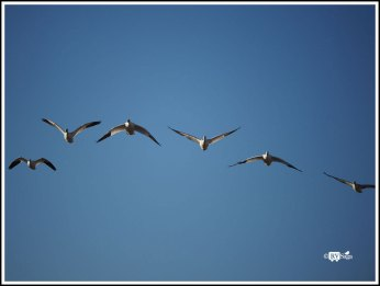 Snow Geese Form. Bosque Del Apache National Wild Life Refuge. New Mexico. Photo Credit: Stephen Jones