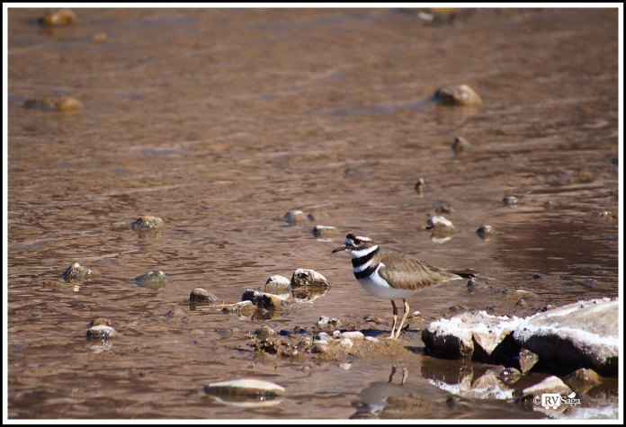 A Killdeer. Caballo Lake Riverside Campground. New Mexico