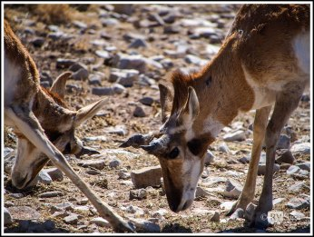 Fighting Pronghorn