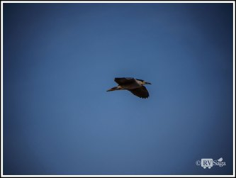 Flying Night Heron