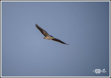 Night Heron in Flight. Leasburg Dam State Park, New Mexico