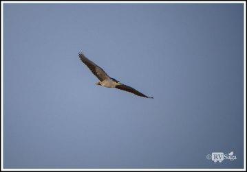 Night Heron in Flight. Leasburg Dam State Park, New Mexico