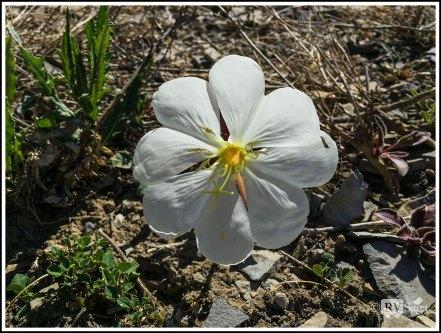 Desert Primroses