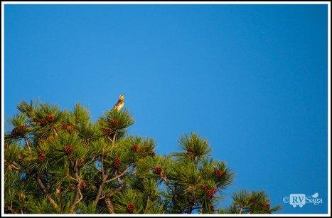 Western-Meadowlark. Heron Lake Campground. New Mexico
