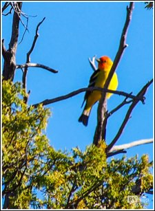 Western Tanagers. Heron Lake Campground , New Mexico