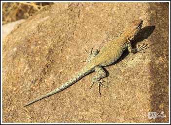 A Lizard at Chaco Canyon. New Mexico
