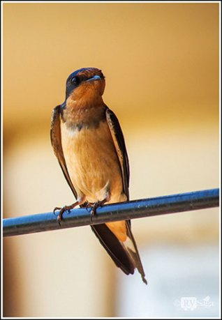 A Cliff Swallow. Custer State Park. South Dakota.