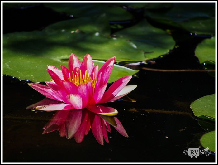A-Pink-Water-Lily-and-Its-Reflection