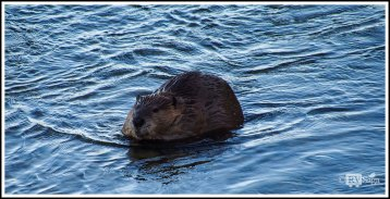 A Beaver on Gros Ventre River. Grand Teton. Wyoming