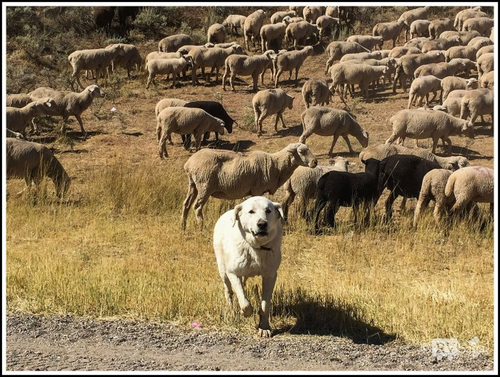 A-Sheep-Dog-In-Front-of-Sheep