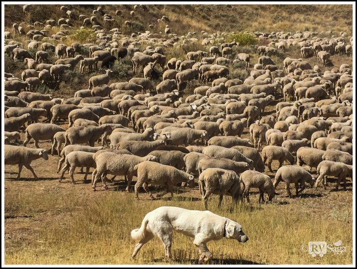 A-Sheep-Dog-and-A-Herd-of-Sheep