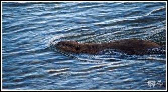 A Swimming Beaver on Gros Ventre River. Grand Teton. Wyoming