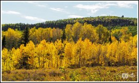 Aspen Trees on Boulder Mountain. Scenic Byway 12 . Utah.