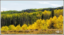 Golden Aspen on Boulder Mountain