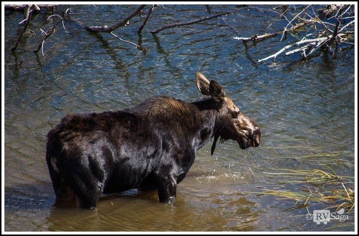 Mom-Moose-on-Snake-River