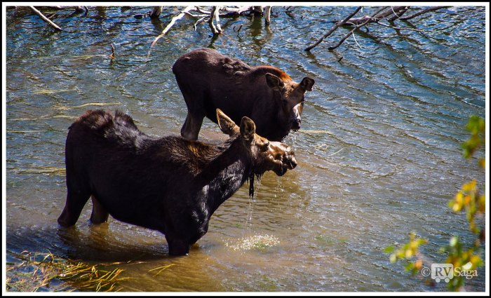 Mom-and-Calf-Moose-Together