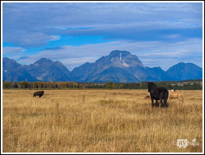 Standoff-Between-A-Bison-and-Horses-on-A-Ranch-in-Grand-Teton