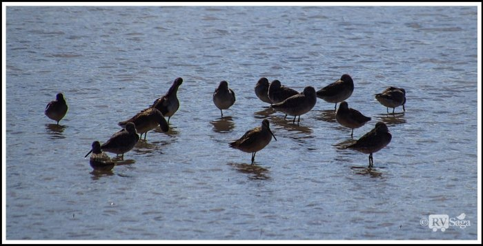 A-Flock-of-Long-billed-Dowitcher