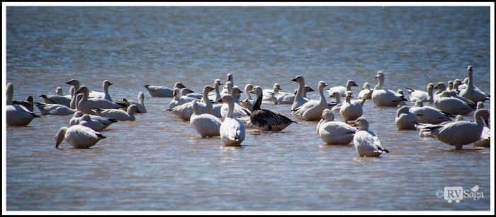 A-Goose-with-Dark-Feathers-Among-SnowRoss-Geese