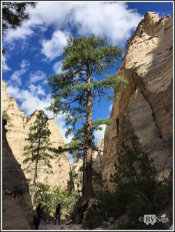 A Ponderosa Pine with Above Ground Root System in Slot Canyon. Kasha-Katuwe Tent Rocks National Monument, New Mexico