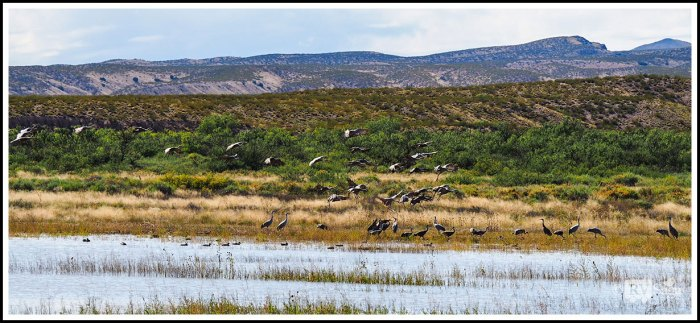 Sandhill-Cranes-Landing-on-Marsh
