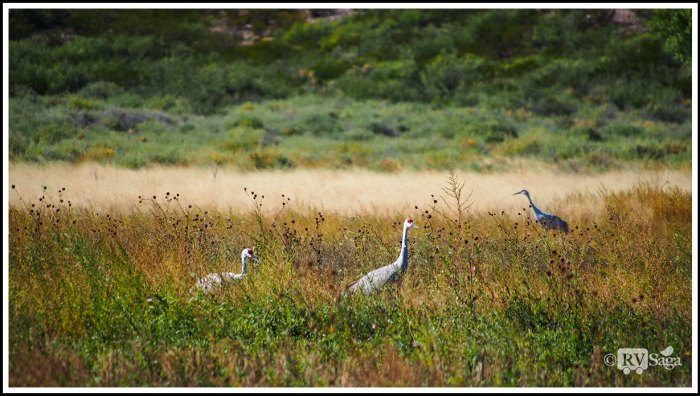 Sandhill-Cranes-at-the-Bosque