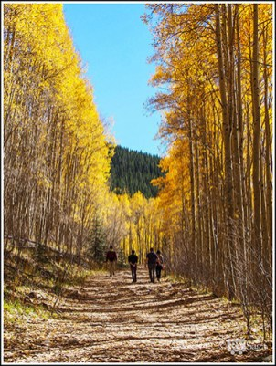 Yellow Aspens Lining the Trail. Sangre de Cresto Mountains. Santa Fe, New Mexico