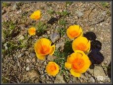 California Poppies 2
