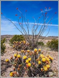 Ocotillos and Cacti