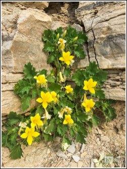Rock Nettle Blossoms