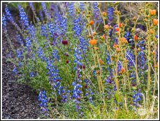 Mojave Lupines and Orange Globemallows