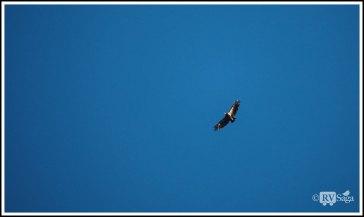 A Soaring California Condor