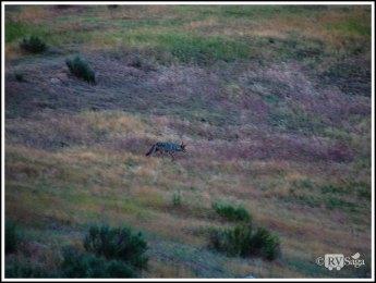 A Coyote at Pinnacles National Park