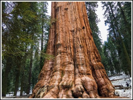 The Immense Trunk of the General Sherman Sequoia