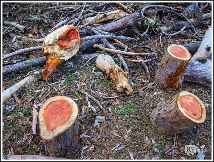 Red Wood of Sequoias