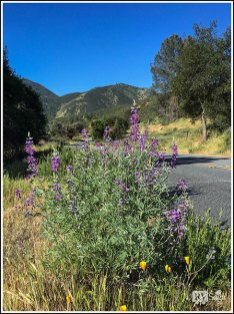 Roadside Bush Lupines and California Poppies in Pinnacles National Park
