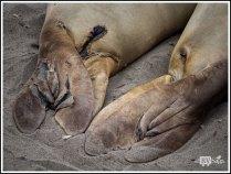 Hind Flippers of Elephant Seals. Photo Credit: Stephen Jones