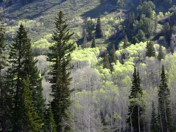 Aspens and firs, Bluebell Camp on Badger Mountain, Utah
