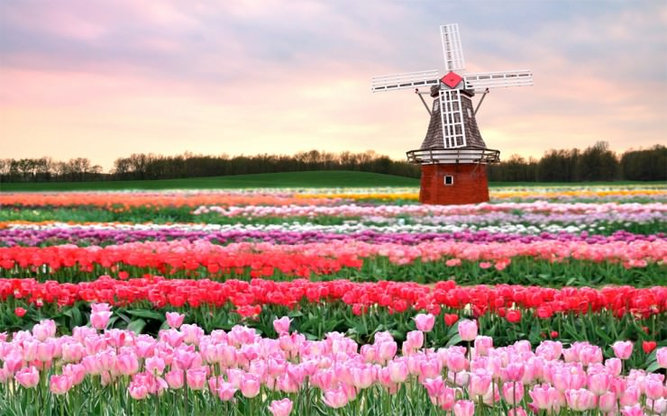 حقول التوليب في هولندا