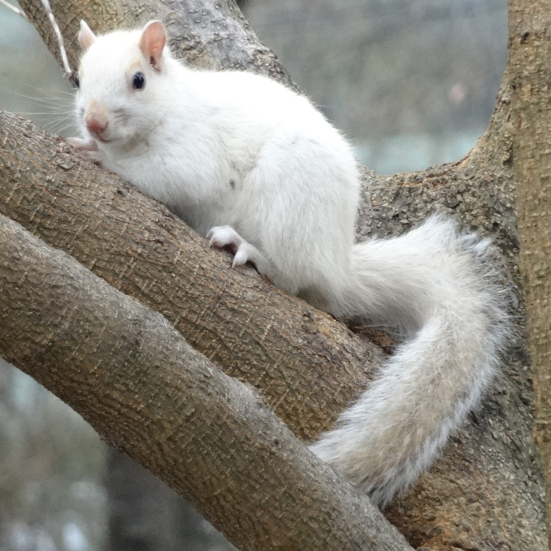 White Squirrel at Volpe Center