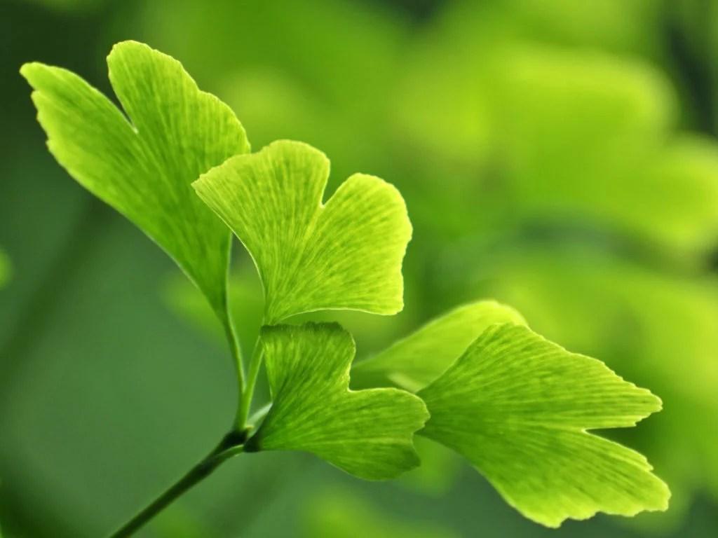 Ginkgo biloba, Ginkgo Biloba; Health Benefits, Uses, Dosage, Side Effects,