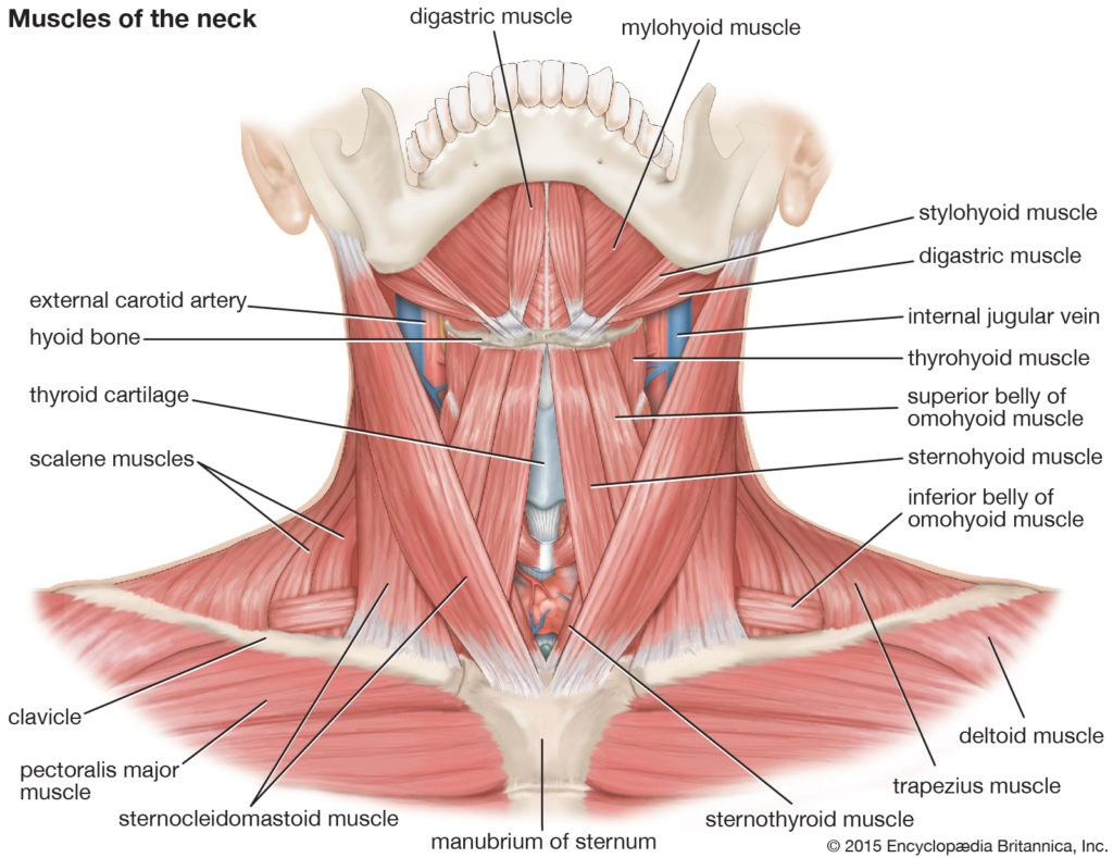 Rhomboid Minor Muscle Origin Nerve Supply Function